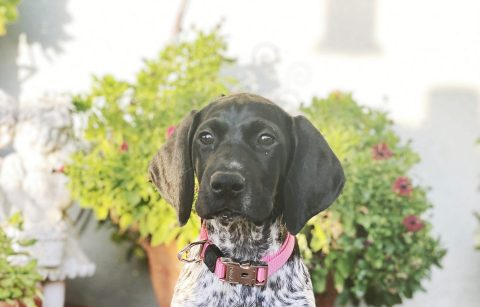 Gracie the german shorthair pointer puppy